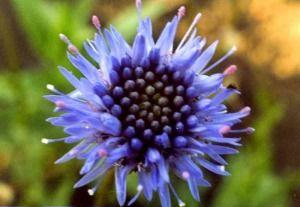 Агалік-трава гірська - застосування і рецепти
