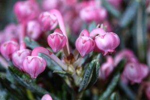Андромеда багатолисті - цілющі властивості і рецепти