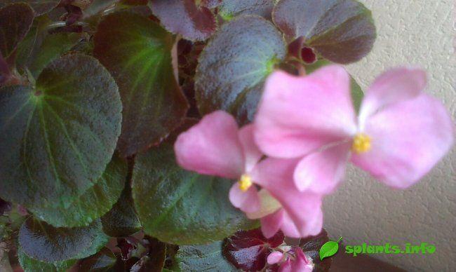 Бегонія вечноцветущая для саду та будинку