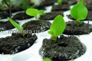 Бегонія вирощування з насіння