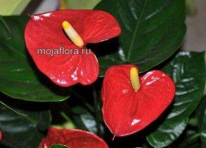 Квітка антуріум -