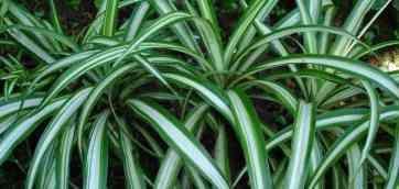 Кімнатний квітка Хлорофітум comosum 2015. Рекомендують: 97%. А про хлорофітум що за прикмети? відповісти.