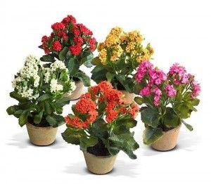 Квітка каланхое - догляд та розмноження
