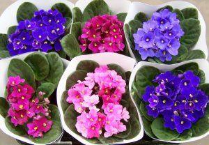 Квіти фіалки догляд