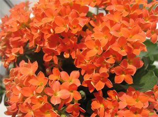Домашні лікарські рослини