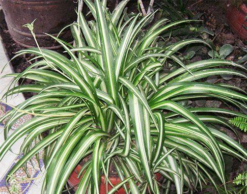 Домашні рослини, які очищають повітря. Фітонциди рослин
