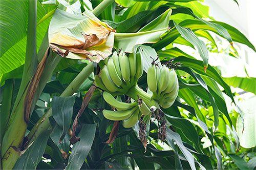 Домашній банан
