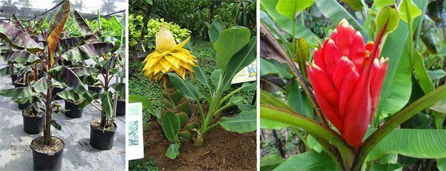 Види домашнього банана, кривавий, китайський і червоний