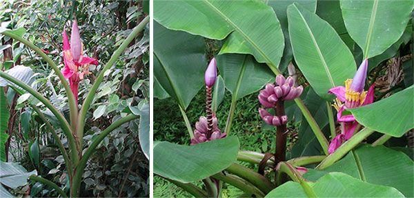 Види домашнього банана, оксамитовий і рожевий