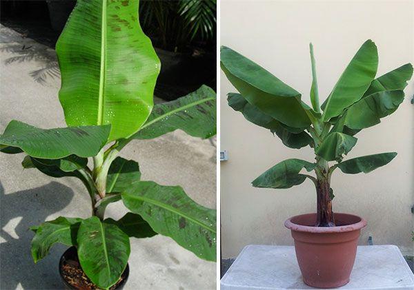 Плодоносні види домашнього банана