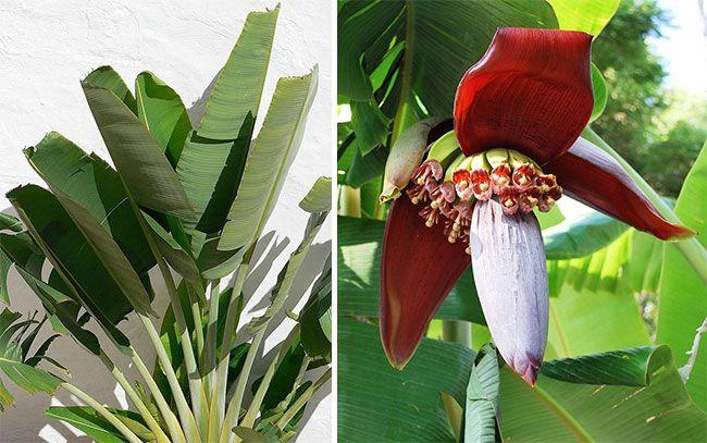Кімнатний банан, листя і квіти