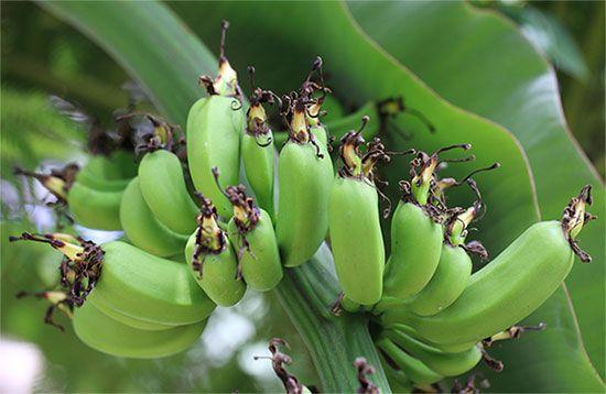 Плоди кімнатного банана