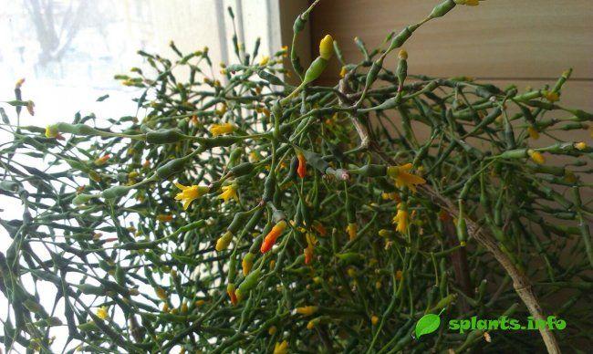 Хатіора: вирощуємо кактус танцюючих кісток