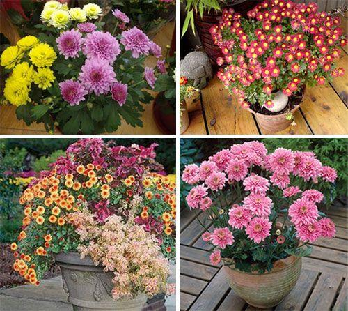 Форми домашніх хризантем