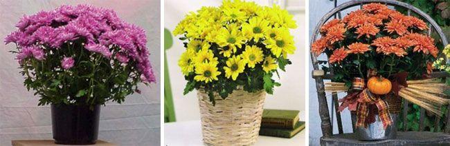 Хризантема в горщику, в плетеному кашпо