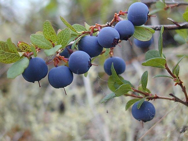 Ірга вирощування куща, корисні властивості ягід