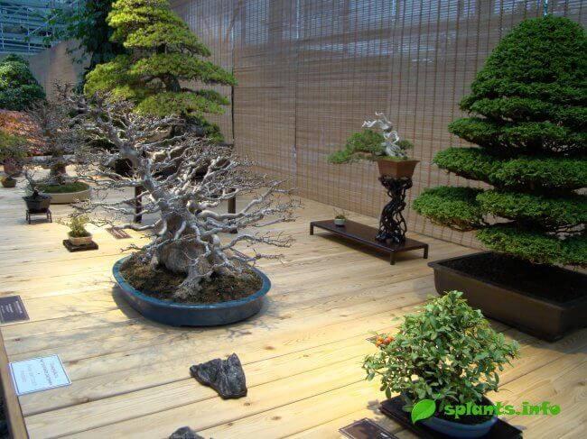 Мистецтво бонсай - вирощуємо в домашніх умовах