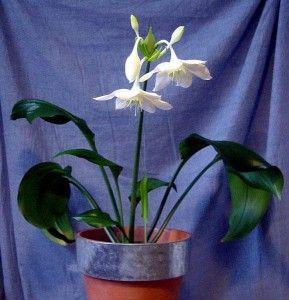 Еухаріс крупноцветковий - вишуканість в вашому домі
