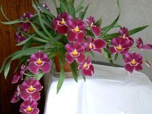 Кімнатні орхідеї догляд