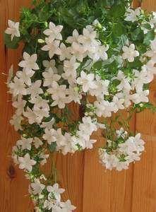 Кімнатний квітка дзвіночок - вирощуємо з любов`ю
