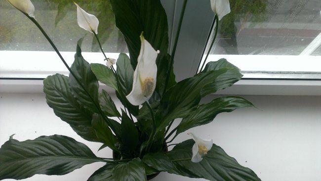 Кімнатний квітка - спатифиллум. Догляд, прикмети і все таке