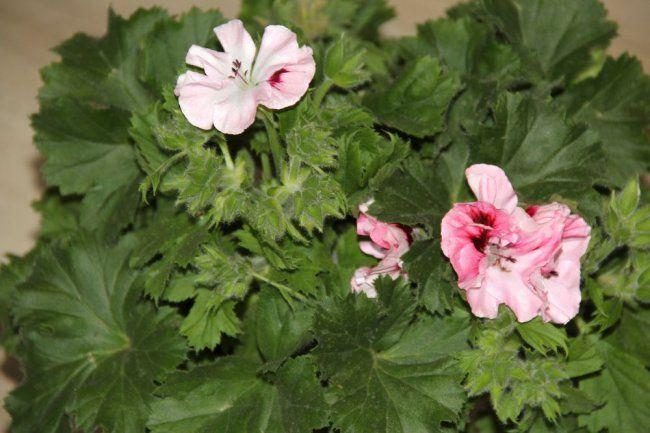 Королівська пеларгонія: вирощування і догляд