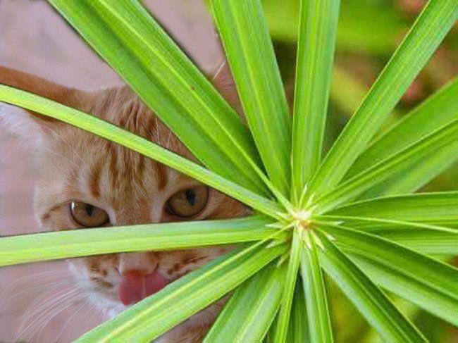 Кот-квітникар: котяча пальма, або які кімнатні рослини нешкідливі для тварин