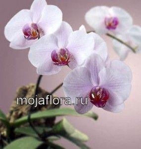 Орхідеї - догляд в домашніх умовах