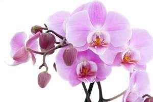 Орхідеї догляд захворювання