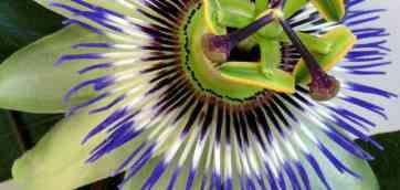 Пассифлора чотиригранна (Passiflora quadrangularis) - найбільша з пассифлор. Розмноження пасифлори проводять насінням, які сіють в 2 червня 2014