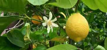 Проблеми у лимона. Тема в розділі