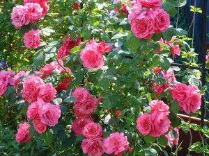 Посадка троянд