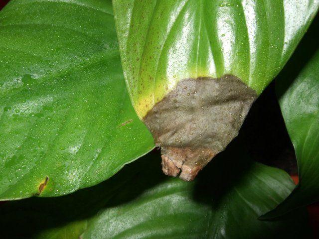 Спатифіллум: сохнуть листя після затоки