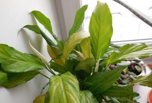 У спатифиллума жовтіють листя при хлорозе