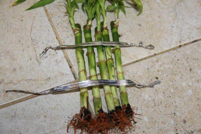 Будуємо парканчик: як надати форму кімнатному бамбуку