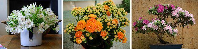 Квітучі домашні рослини, які потребують підгодівлі