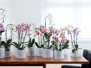 Догляд та пересадка орхідей