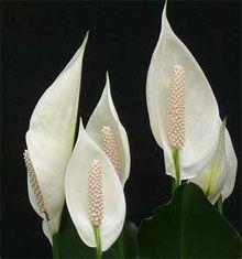 суцвіття спатифиллума
