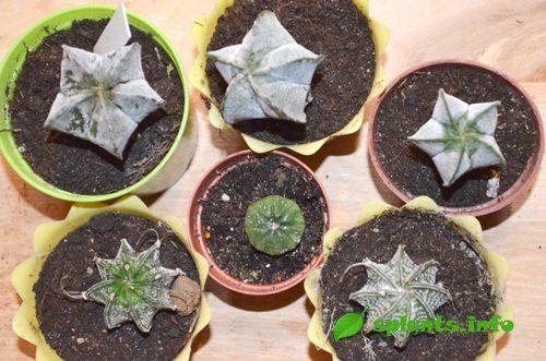 Зірчасті кактуси: астрофітум в будинку